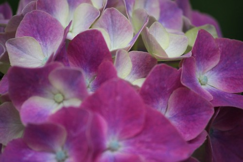 For rain of June / Hydrangea