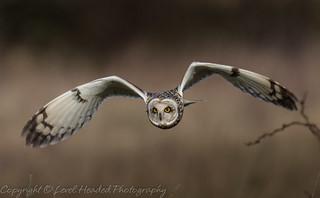 Short eared owl bent wings (Asio flammeus) Best viewed large