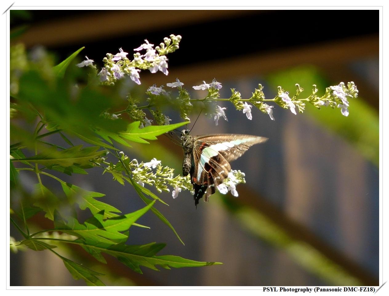 Graphium sarpedon connectens - 青帶鳳蝶