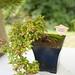 Bonsai Fuchsia