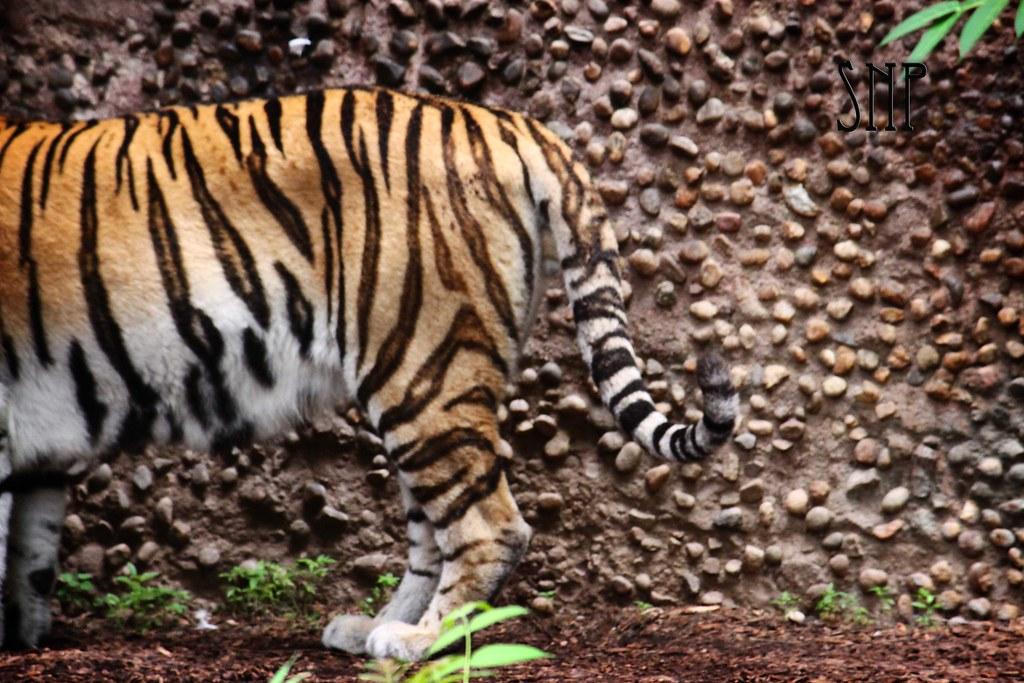 . tiger .
