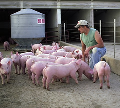 my dad, the hog farmer (manyfires) Tags: pink dad father iowa pork pigs farmer swine familyfarm