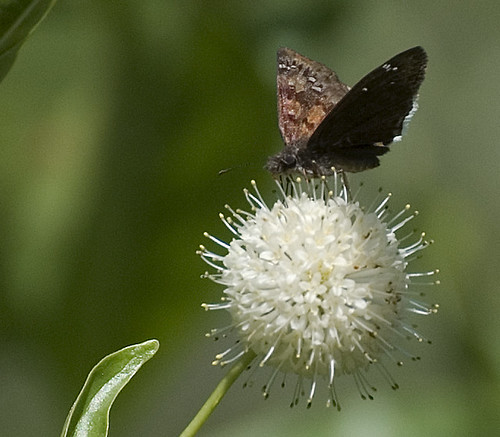 Frittilary Butterfly (?)