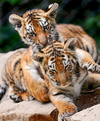 Different Types of Wild Cats - Love Meow Cute Siberian Tiger Cubs