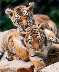 [フリー画像] [動物写真] [哺乳類] [ネコ科] [虎/トラ]       [フリー素材]
