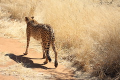 Cheetah**** (Modii) Tags: nature animal cat natura felino cheetah namibia animale savana ghepardo 450d cheetahconservationfund otjiwarongo donatacucchi modii