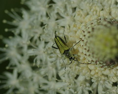 Golden Beetle on Beargrass (GerryQ42) Tags: photos 2009 freezeout chrysocoma cosmosalia