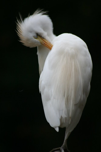 White on black (witte ibis)