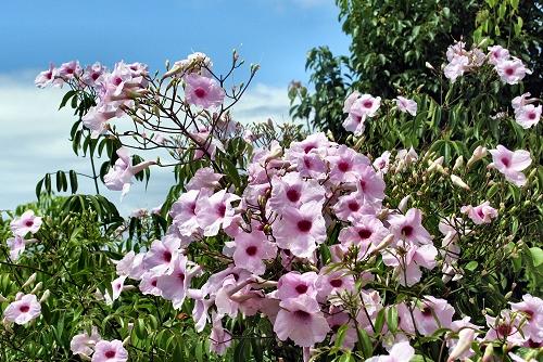 Pandorea jasminoides (rq) - 02