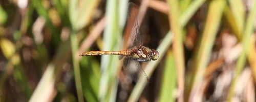 IMG_6251Dragonfly in Flight