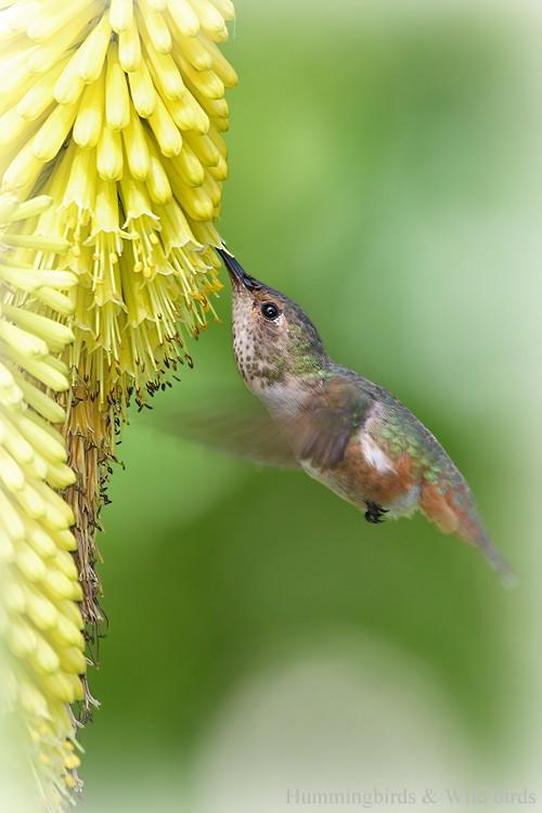 Allen's Hummingbird06091