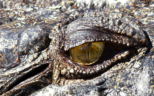 free 1440x900 resolution desktop wallpaper photo of a crocodile eye