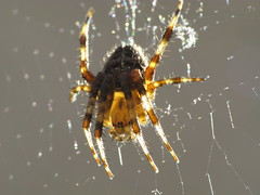 Spider doing a back flip (Aylesbury_Mark) Tags: macro canon spider web powershot a650 raynoxdcr250 a650is