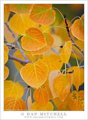 Aspen Leaves in Transition - Near Conway Summit (G Dan Mitchell) Tags: road autumn light red orange mountain lake color tree green fall nature up leaves yellow forest season gold virginia leaf intense flora soft branch close grove conway nevada cluster stock sierra east foliage shade twig summit aspen transition range hue diffused slope induro