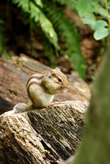 Chipmunk 04 (dolphin_dolphin) Tags: tree nature animal japan forest wow wonder sapporo chipmunk