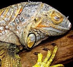 """Requiescat in Pace"" ""Bert(Alberta) 1993 - October 8, 2009 (EcoSnake) Tags: history friend bert lizards reptiles herps iguanaiguana greeniguana requiescatinpace"