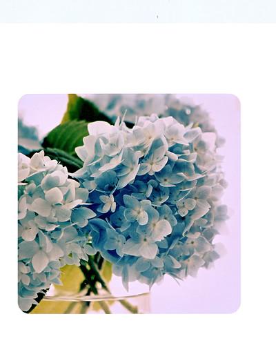 lynda-navarro's-hydrangea