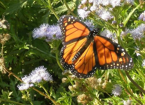 Butterfly open