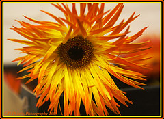 Gerbera2 (chetty3) Tags: flowers nature canon gerbera sigma105mmf28 eos40d