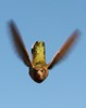 Boo - Happy Halloween from the Humming bird World (o-rusty-nail) Tags: soe goldstar crazyaboutnature naturespotofgold worldnaturewildlifecloseups hummingbirdphotogrophy worldclassnaturephotos universeofnature thenaturalworldofnature