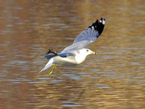Ring-Billed Gull Farm Pond 7
