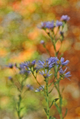 fall flowers (HiCe) Tags: fall asters oof travelsofhomerodyssey