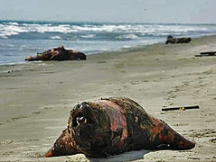 Hundreds of Sea Lions poisoned in Colán