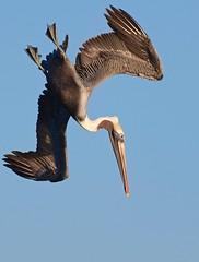 [フリー画像] 動物, 鳥類, ペリカン科, ペリカン, 201008271900