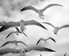 Movement (amandanpowell) Tags: blackandwhite seagulls beach birds wings flight beak iphotooriginal
