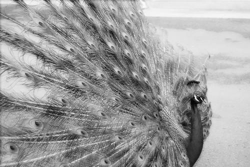 1 peacock
