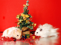 Kokosanka and Pirko Jr. (pyza*) Tags: christmas xmas red pet holiday cute animal monster rodent funny sweet critter christmastree hamster muppet syrian hammie chomik juniorek kokosnka