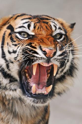 フリー画像| 動物写真| 哺乳類| ネコ科| 虎/トラ| 威嚇| 怒る|     フリー素材|