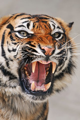 Angry tigress (Tambako the Jaguar) Tags: wild portrait france face female cat zoo big nikon feline tiger kitty anger angry openmouth tigre tigress sumatran pissedoff d300 pantheratigris amnville superaplus aplusphoto