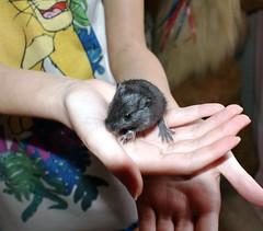 Chip (SkyRhino) Tags: pet baby gerbil
