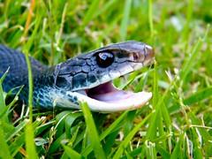black racer  (snakewisperer) Tags: usa black beach tongue rat snake bite ribbon snakes racer snakeguy77 snakewisperer