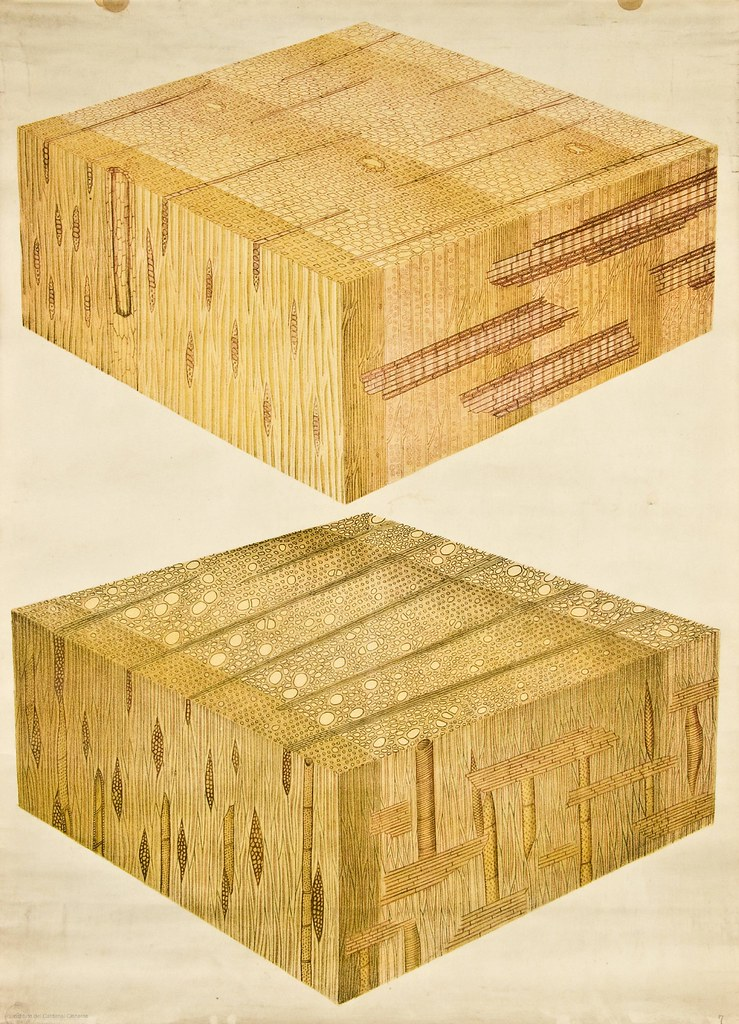Woody cells of conifer -- Anatomia Vegetal 1929, pub. by FE Wachsmuth f