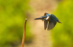 Determined (jcowboy) Tags: bird nature birds animal animals japan asia wildlife kingfisher aichi obu 2011 kingfishers  specanimal may2011 hoshinaike