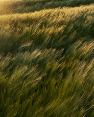 Barley 1 (TimSmalley) Tags: sunset field barley golden wind derbyshire crops eveninglight brailsford