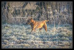 Daiko (patrick.verstappen) Tags: january cold dog animal pet hdr frozen 2017 nikon sigma winter gingelom google flickr facebook ipernity ipiccy photo picassa pinterest pat
