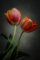 Tulipanes (JACRIS08) Tags: tulips tulipanes flores