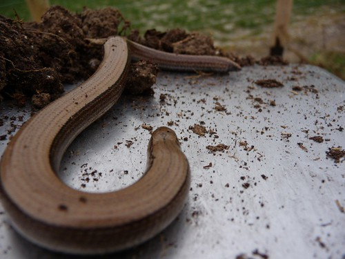 small-slow-worm-rupes8