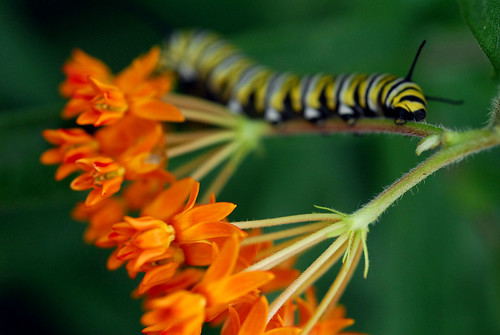 Butterflyweed consumption