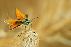 Small Skipper (Volkan Donbalolu) Tags: macro nature beautiful turkey butterfly photography photo nikon perfect photographer dof small trkiye great picture n skipper photographers best micro d200 nikkor makro f28 turkish vr afs volkan kelebek 105mm essexskipper smallskipper ifed doa nikond200 f28g 105mmf28gvrmicro 105mmvr 105vr 105vrmicro nikkor105mmf28gvrmicro 105vrf28 nikon105mmf28gvrmicro zpzp nikonnikkorafs105mmvrmicrof28ifedn donbaloglu donbalolu volkandonbalolu volkandonbaloglu thymelicuslineata