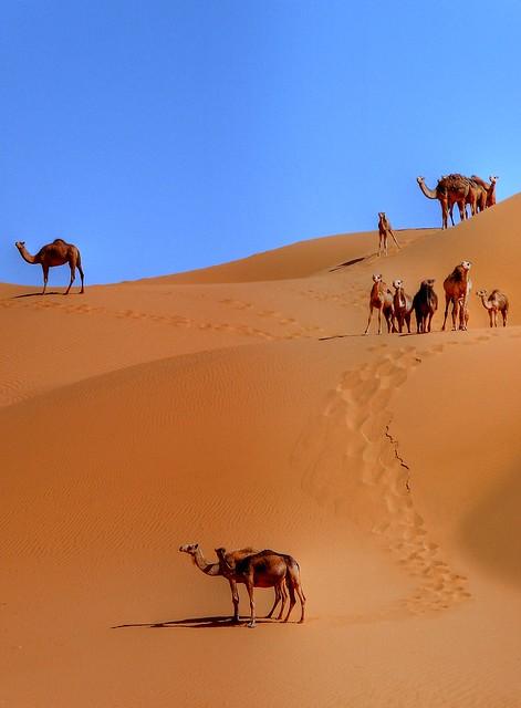 Camels dune (Algeria)-  La dune des dromadaires