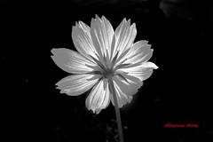 Feliz Cumpleaños/Happy Birthday (Altagracia Aristy Sánchez) Tags: blackandwhite flower blancoynegro backlight contraluz américa dominicanrepublic flor tropic caribbean cosmos biancoenero antilles laromana caribe repúblicadominicana yellowcosmos cosmossulphureus trópico antillas quisqueya fujifilmfinepixs8100fd fujis8100fd fujifinepixs8100fd altagraciaaristy caraïbi