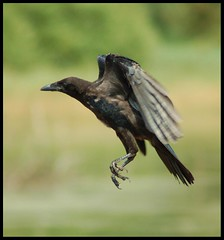 Flight of the crow (Levels Nature) Tags: uk black bird feet nature bristol fly legs wildlife tail flight wing beak somerset crow carrion chewvalleylake carrioncrow topshots abigfave natureselegantshots saariysqualitypictures carlsbirdclub