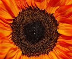 """""""Phoenix Fire"""" (aptrail2005) Tags: red orange black flower macro water phoenix nikon 1855mm firelike d80"""