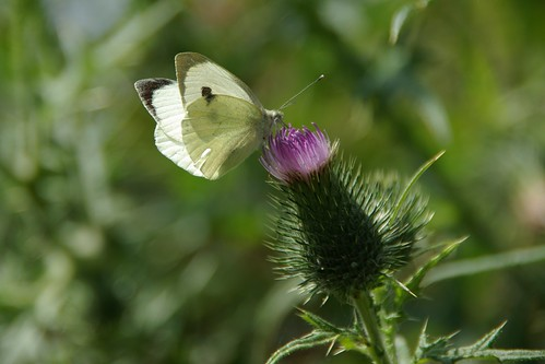 large white on thistle