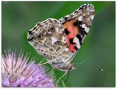 Painted lady on common teasel (macfudge1UK) Tags: uk summer england nature fauna butterfly bug insect flora europe wildlife lepidoptera teasel bloom 2009 oxfordshire spiny paintedlady oxon commonteasel dipsacusfullonum stantonharcourt supershot allrightsreserved britishwildflowers specanimal abigfave countryfile anawesomeshot magicofaworldinmacro platinumheartaward buzznbugz macrolife natureselegantshots s100fs naturethroughthelens ourmasterpieces gemsofnature cynthiavanessacardui fujifilmfinepixs100fs 100commentgroup vosplusbellesphotos beautifulmonsters alittlebeauty newgoldenseal