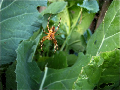 Spider near collards